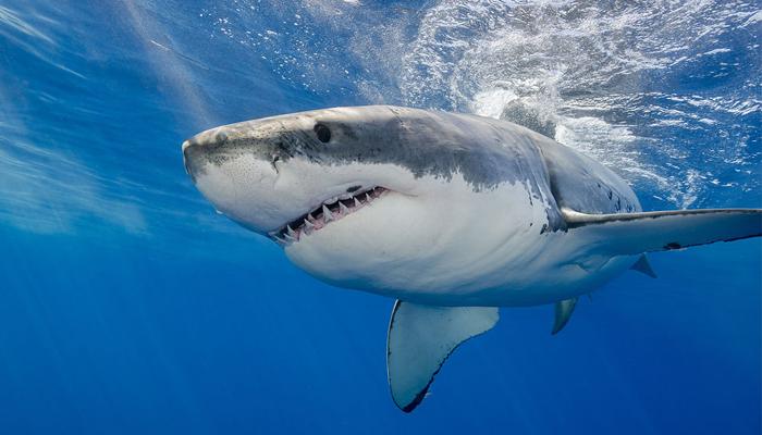 ¿Cómo operan los tiburones del mercado?